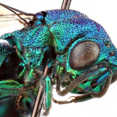 "Denne Chrysididae, også kaldet 'den tossede hveps', blev fundet i Travis County i Texas. (Foto: James Marchment, projekt ""Insects Unlocked"", University of Texas)."